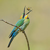 Rainbow Bee-eater (Merops ornatus) tossing a cicada