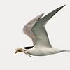 Crested Tern with a fish