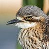 Bush Stone-curlew, Federation Walk Coastal Reserve, Gold Coast, Australia.