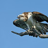 Eastern Osprey (Pandion haliaetus)