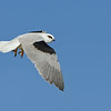 Black-shouldered Kite ( Elanus axillaris )