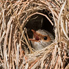Female Superb Fairy-wren  (Malurus cyaneus) in Nest