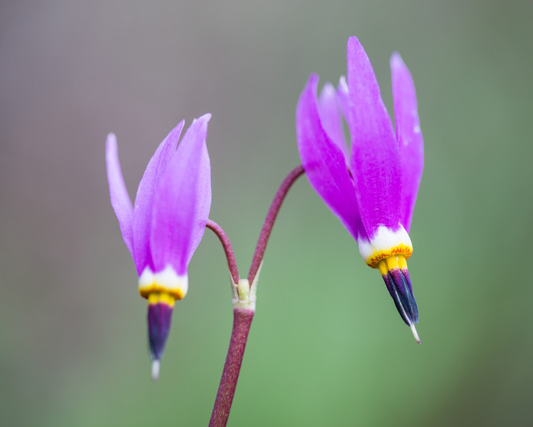Alpine shooting star (Dodecatheon alpinum), a wildflower. Taken in Yellowstone National Park, Wyoming, USA.