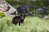 A yearling American black bear (Ursus americanus) cub. Taken in Yellowstone National Park, Wyoming, USA.