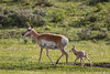 A pronghorn (Antilocapra americana) doe with her newborn fawn.Taken in Yellowstone National Park, Wyoming, USA.