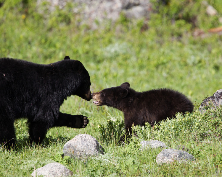 A yearling American black bear (Ursus americanus) cub interacts with its mother. Taken in Yellowstone National Park, Wyoming, USA.