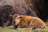 A bison (Bison bison) calf with its mother. Taken in Yellowstone National Park, Wyoming, USA.