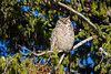 A sleepy great horned owl (Bubo virginianus). Taken in Yellowstone National Park, Wyoming, USA.