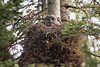 A great gray owl (Strix nebulosa) adult peers overs its huge nest. Taken in Yellowstone National Park, Wyoming, USA.