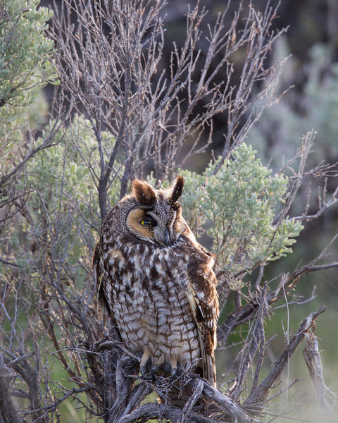 """My, What Long Ears You Have""<br /> <br /> A long-eared owl (Asio otus) in the sagebrush. Taken in Yellowstone National Park, Wyoming, USA."