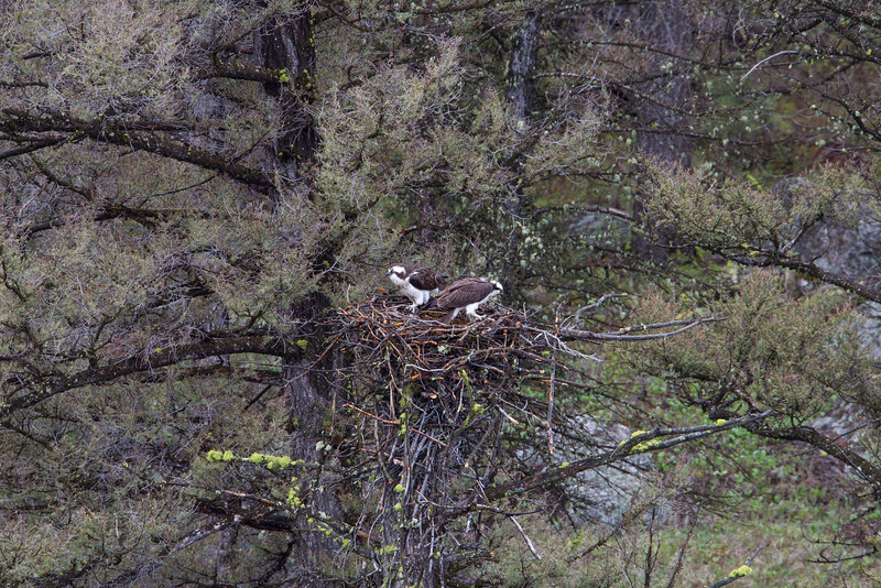 A pair of osprey (Pandion haliaetus) on the nest that is in the process of being built. Taken in Yellowstone National Park, Wyoming, USA.