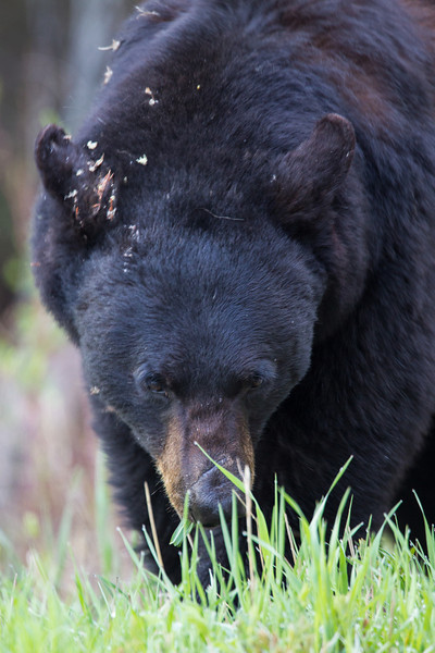 A black bear (Ursus americanus) feeds on lush spring grasses. Taken in Yellowstone National Park, Wyoming, USA.