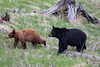 A typical black bear (Ursus americanus) sow with her  cinnamon-colored cub. Taken in Yellowstone National Park, Wyoming, USA.