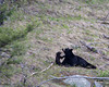 A black bear (Ursus americanus) sow and her cub of the year have an extended play session.Taken in Yellowstone National Park, Wyoming, USA.