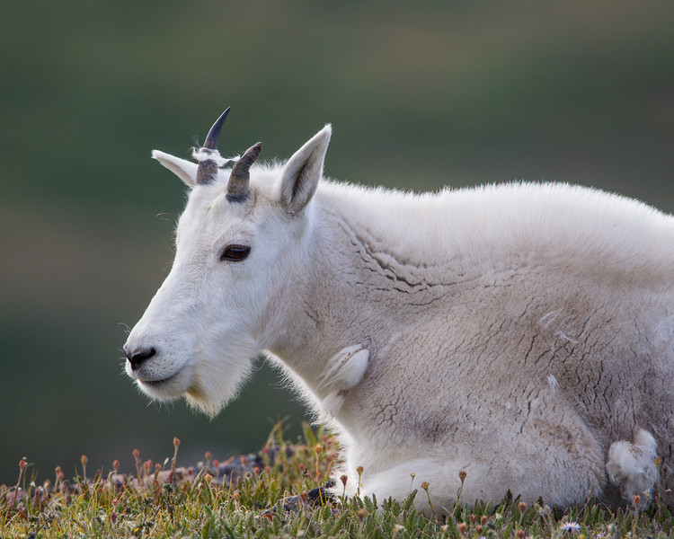 An adolescent mountain goat (Oreamnos americanus) at rest. Taken along the Beartooth Pass, Shoshone National Forest, Wyoming, USA.