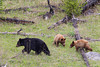 A typical black bear (Ursus americanus) sow with her two cinnamon-colored cubs. Taken in Yellowstone National Park, Wyoming, USA.