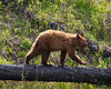 A cinnamon-colored black bear (Ursus americanus) cub crosses on a fallen, burned tree. Taken in Yellowstone National Park, Wyoming, USA.