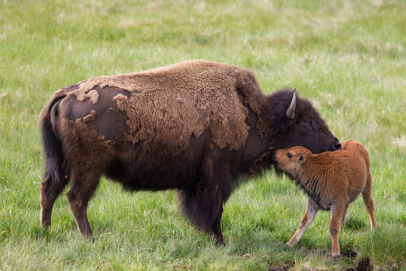 An American bison (Bison bison) mother with her newborn calf. Taken in Yellowstone National Park, Wyoming, USA.