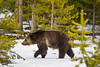 A grizzly bear (Ursus arctos horribilis). Taken in Yellowstone National Park, Wyoming, USA.