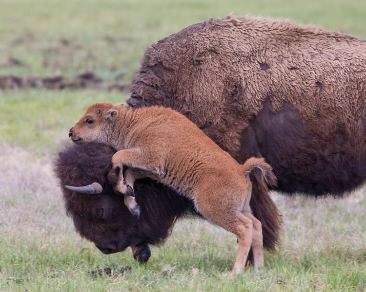 A bison (Bison bison) mother was on the move with its calf when the calf jumped up on her head! Taken in Yellowstone National Park, Wyoming, USA.