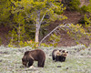 A grizzly bear (Ursus arctos horribilis) mother with her cubs. Taken in Yellowstone National Park, Wyoming, USA.