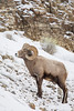 A bighorn sheep (Ovis canadensis) ram, or male. Taken in Yellowstone National Park, Wyoming, USA.