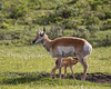 A pronghorn (Antilocapra americana) doe nurses her newborn fawn.Taken in Yellowstone National Park, Wyoming, USA.