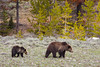 A grizzly bear (Ursus arctos horribilis) mother with her cub. Taken in Yellowstone National Park, Wyoming, USA.