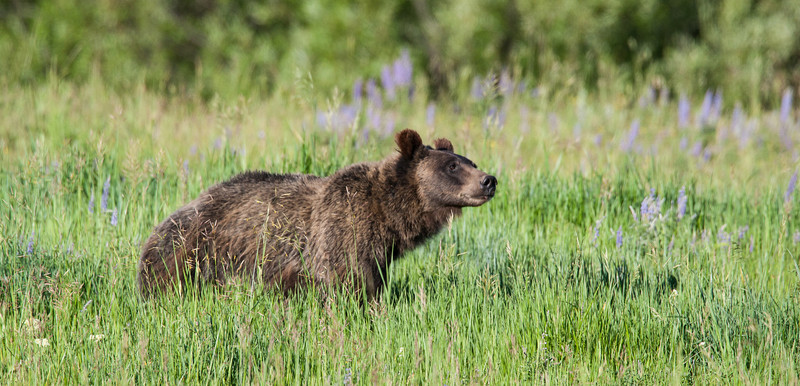 A two-year-old grizzly bear (Ursus arctos horribilis) cub stands in a meadow of wildflowers. Taken in Grand Teton National Park, Wyoming, USA.