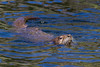 A North American river otter (Lontra canadensis) at Trout Lake. Taken in Yellowstone National Park, Wyoming, USA.