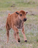 A newborn baby bison (Bison bison). It was full of energy, running around the meadow where the herd was. Taken in Yellowstone National Park, Wyoming, USA.