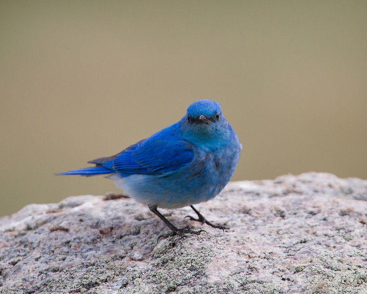 A male mountain bluebird (Sialia currucoides). Taken in Yellowstone National Park, Wyoming, USA.