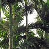 "Areca palms and their ""nuts"""