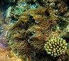 Barrier Reef Anemonefish with two juveniles