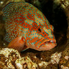 Grouper  - Similan islands, Thailand, 2011