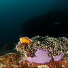 Clown fish - Similan islands, Thailand, 2011