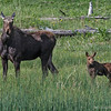 FEMALE MOOSE with her calf.