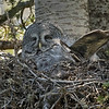 GREAT GRAY OWL Female on nest