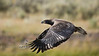Immature Bald Eagle learning to fly - Madison River in Yellowstone National Park - Photo by Pat Bonish/Bonish Photo