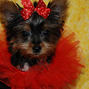 PUPPY NUMBER: # 517 Sold to:  Rita W Date Sold: April 2007 From: Lawrenceville GA BREED: Yorkie SEX: Female SIZE: Tiny Teacup D.O.B: 1-28-07 COLOR: Black & Gold  Starting Price was: $ 2975.00 Final Price Paid: $ 2975.00 Sales Representative: SHELLEY  Click the ( BUY THIS PHOTO ) icon under photo to purchase this puppy picture. Photos are available in wallets, 8 X 10, 5 x 7, on key chains, mouse pads, back packs, coffee mugs and T-Shirts and more.  This Photo is copy right protected by: Teacup And Toy Pets