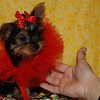 PUPPY NUMBER: # 517<br /> Sold to:  Rita W<br /> Date Sold: April 2007<br /> From: Lawrenceville GA<br /> BREED: Yorkie<br /> SEX: Female<br /> SIZE: Tiny Teacup<br /> D.O.B: 1-28-07<br /> COLOR: Black & Gold<br /> <br /> Starting Price was: $ 2975.00<br /> Final Price Paid: $ 2975.00<br /> Sales Representative: SHELLEY<br /> <br /> Click the ( BUY THIS PHOTO ) icon under photo to purchase this puppy picture.<br /> Photos are available in wallets, 8 X 10, 5 x 7, on key chains, mouse pads, back packs, coffee mugs and T-Shirts and more.<br /> <br /> This Photo is copy right protected by:<br /> Teacup And Toy Pets