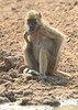 Yellow_Baboon_Thinker_Mwamba_Zambia0001