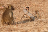 Yellow_Baboon_With_Baby_Kaingo_Zambia0171