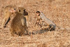 Yellow_Baboon_With_Baby_Kaingo_Zambia0172