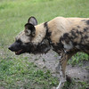 Wild African Dogs in the Serengeti exhibit pacing around area