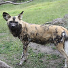 Wild African Dogs in the Serengeti exhibit at the Zoo
