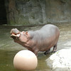 Hippopotamus going into pool