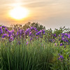 Irises under the sunset