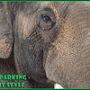 How do you park an Elephant?  Just like this! :)  <br /> I like the way the touch trunks when she backs into her spot.