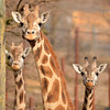 three young giraffes